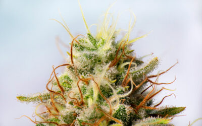 Introductory 101: Terpenes & Flavonoids